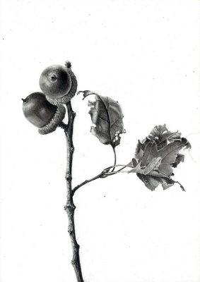 "acorns  graphite on clayboard 6"" x 6"""