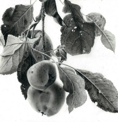 """apples  graphite on clayboard 6"""" x 6"""""""