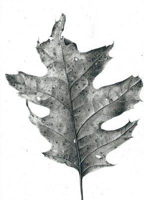"oak leaf  graphite on clayboard 5"" x 7"""