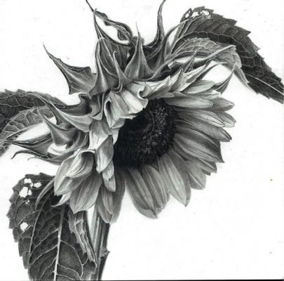 """sunflower with three leaves  graphite on clayboard 6"""" x 6"""""""